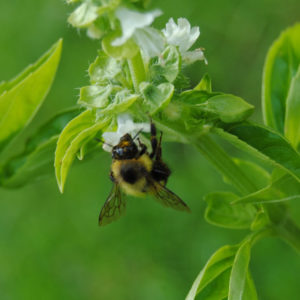 Insect Repelling Herbs